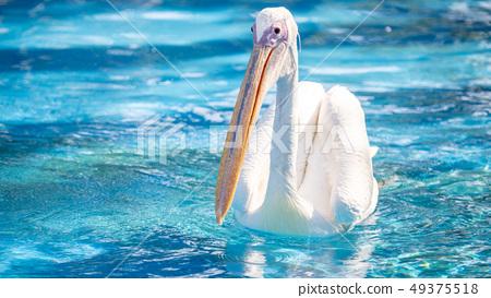 白cor鳥動物水池塘池塘舌頭游泳白鵜鶘游泳鵜鶘 49375518