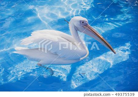 白cor鳥動物水池塘池塘舌頭游泳白鵜鶘游泳鵜鶘 49375539