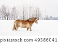 Light brown Haflinger horse wading in snow on winter field, side view with blurred trees in 49386041