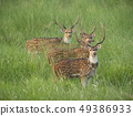 Sika or spotted deers herd in the elephant grass 49386933