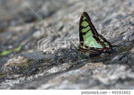 寬帶青鳳蝶,寬青帶鳳蝶(Graphium cloanthus kuge) 49391602