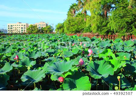 연화원,연못,연꽃, 49392507