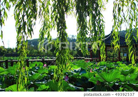 연화원,연못,연꽃, 49392537
