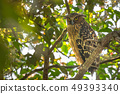 Wink Buffy Fish Owl mother bird near her nest 49393340