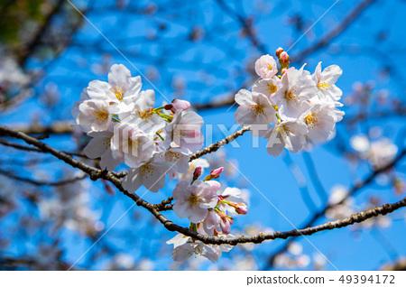 日本熊本城櫻花Asian, japanese, kumamoto cherry blossom 49394172