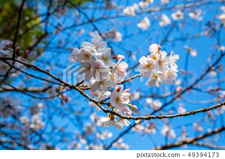 日本熊本城櫻花Asian, japanese, kumamoto cherry blossom 49394173