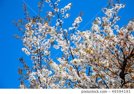 日本熊本城櫻花Asian, japanese, kumamoto cherry blossom 49394191