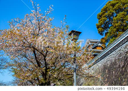 日本熊本城櫻花Asian, japanese, kumamoto cherry blossom 49394198