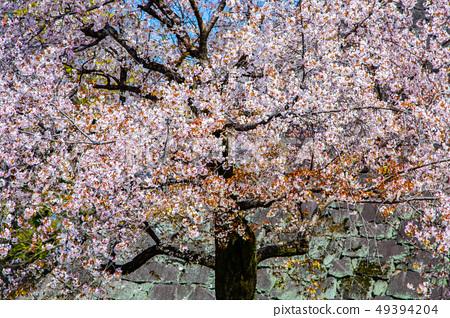 日本熊本城櫻花Asian, japanese, kumamoto cherry blossom 49394204