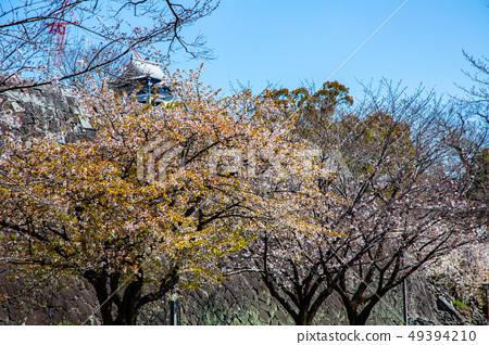 日本熊本城櫻花Asian, japanese, kumamoto cherry blossom 49394210