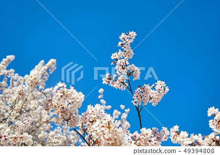 푸른 하늘과 벚꽃, 진해 군황제 49394808