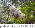Japanese Antelope 004 inhabiting Aobayama 49396133