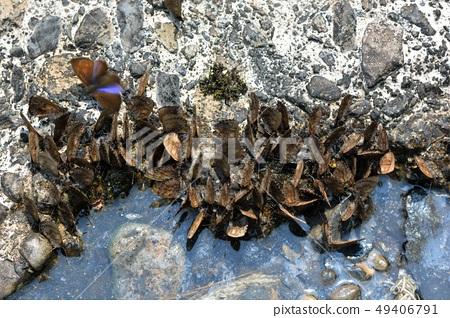 Orchimi大灰蝶和小灰蝶Orthomiella rantaizana 49406791