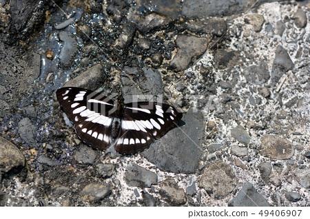寬帶三線蝶、寬帶蛺蝶 Athyma jina sauteri (Fruhstorfer, 1912) 49406907