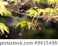 단풍 나무의 꽃 49415496