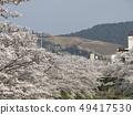 佐保川 따라 벚꽃과 와카 쿠사 49417530