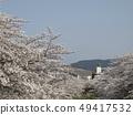 佐保川 따라 벚꽃과 와카 쿠사 49417532