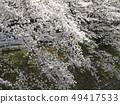 佐保川 따라 벚꽃 49417533