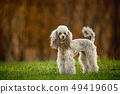 Silver Toy Poodle on the grass, brown background 49419605