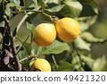 Lemon before harvest 49421320
