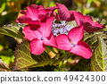 Penny mac, Hydrangea macrophylla 49424300