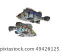 물고기 49426125