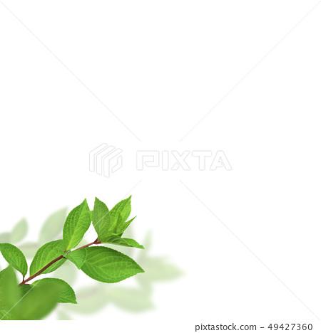배경 - 신록 - 그린 - 봄 - 여름 - 흰색 배경 49427360
