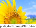 한여름 _ 해바라기와 꿀벌 49432442