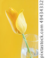 Yellow Tulips on a yellow background 49434332