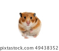 Syrian hamster isolated 49438352