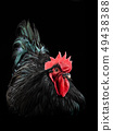 black rooster australorp (Gallus gallus) 49438388
