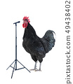 black rooster sings on a white 49438402