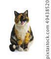 orange black white cat with tongue 49438520