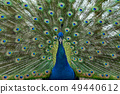 peacock bird wonderful feather open wheel portrait 49440612