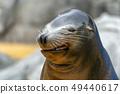 Sea lion seal funny face 49440617