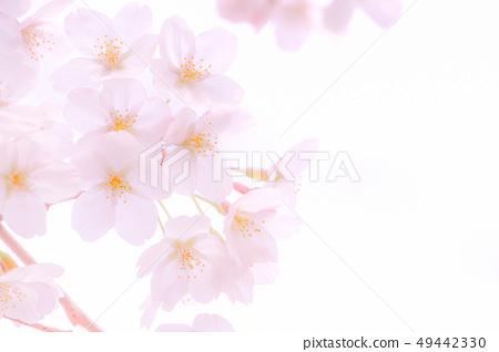 櫻桃樹 49442330