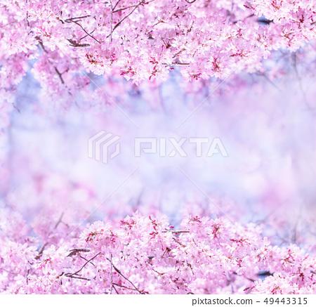 Sakurahana Aiten Shunten Saura Sakura垂枝櫻花垂枝櫻花 49443315