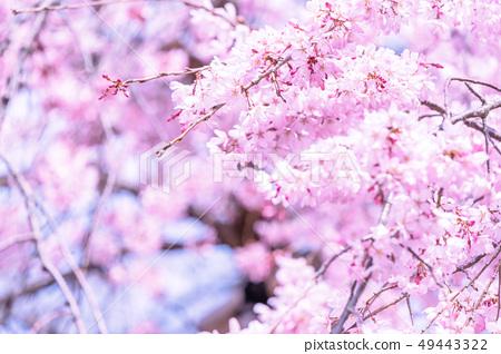 Sakurahana Aiten Shunten Saura Sakura垂枝櫻花垂枝櫻花 49443322