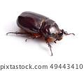 European rhinoceros beetle isolated 49443410