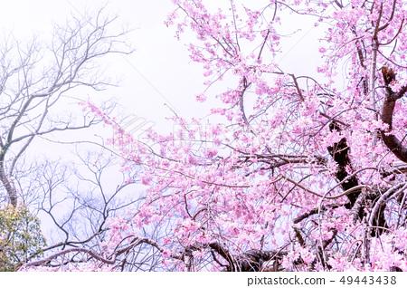 Sakurahana Aiten Shunten Saura Sakura垂枝櫻花垂枝櫻花 49443438