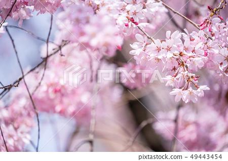 Sakurahana Aiten Shunten Saura Sakura垂枝櫻花垂枝櫻花 49443454