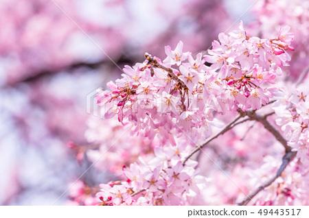 Sakurahana Aiten Shunten Saura Sakura垂枝櫻花垂枝櫻花 49443517