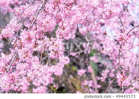 Sakurahana Aiten Shunten Saura Sakura垂枝櫻花垂枝櫻花 49443573