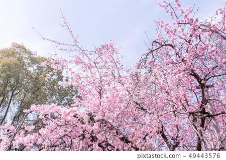 Sakurahana Aiten Shunten Saura Sakura垂枝櫻花垂枝櫻花 49443576