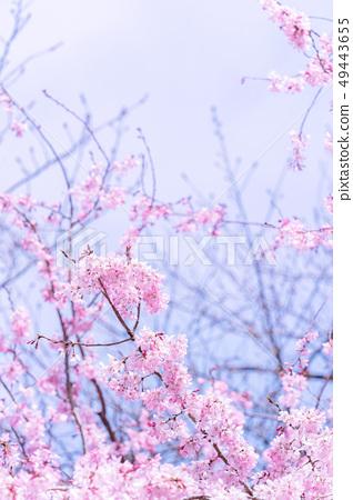 Sakurahana Aiten Shunten Saura Sakura垂枝櫻花垂枝櫻花 49443655