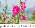 Hollyhocks flower of pink  color in the garden 49445314