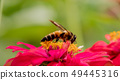 bee collects nectar from a flower in garden. 49445316