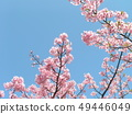 Flower of Inagekaigan Station in front of Inagekaigan Station where cherry blossoms are also seen 49446049