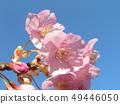 Flower of full bloom Inagekaigan Station in front of Kawara-zakura 49446050