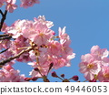 Flower of full bloom Inagekaigan Station in front of Kawara-zakura 49446053